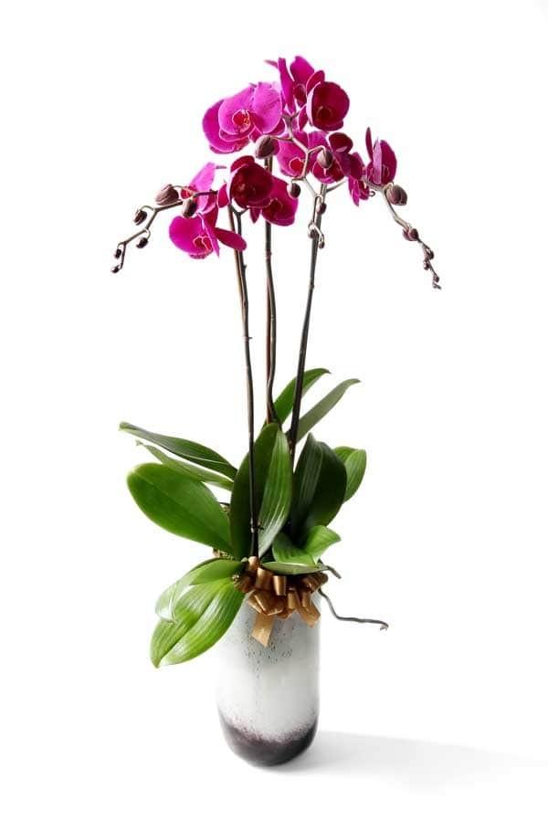 訂蘭花? 香港送花專門店捐出10%的利潤給慈善機構。 我們的花店提供蘭花、蝴蝶蘭、拖鞋蘭、萬代蘭。