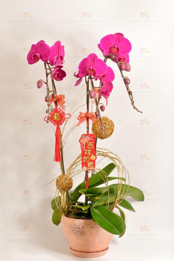 紫意揚揚(3菖台灣紫紅大蝴蝶蘭)