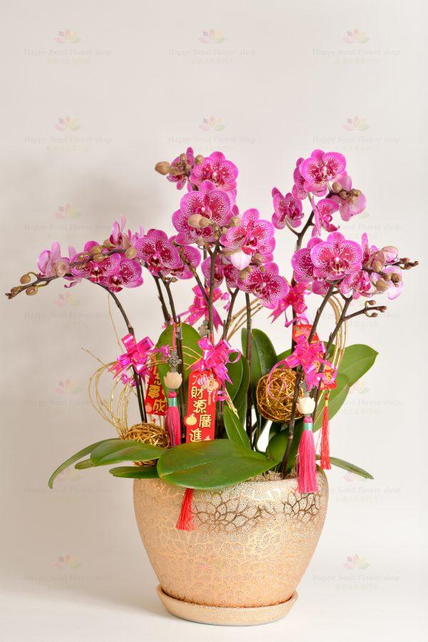 財運滾滾(可轉紫紅、黃、綠、白、淺粉紅)5菖台灣迷你蝴蝶蘭